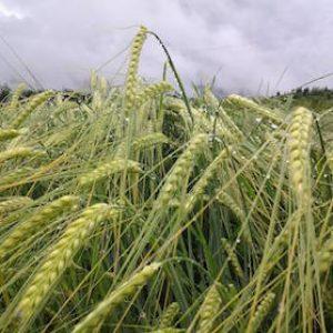 Grains-279