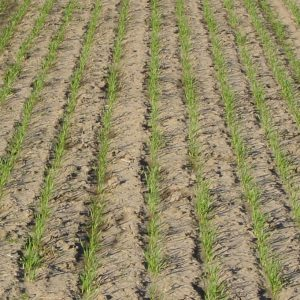 plantedwheat